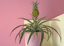 How to Grow Beautiful Houseplants from Pineapples, Ginger, Oranges and other Foods