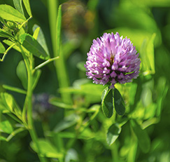 Red_clover