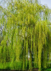 willows_1200
